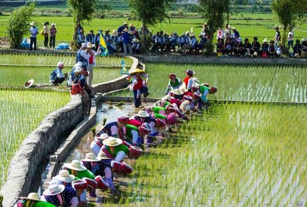 白族传统节日大全--白族栽秧会